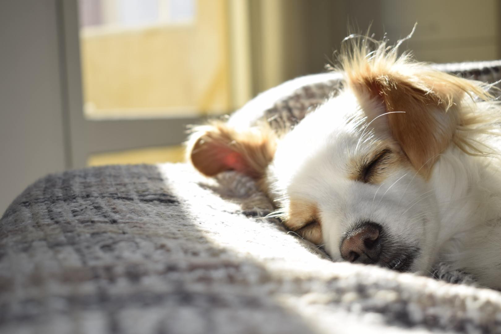 Comment savoir si un chien a des puces?