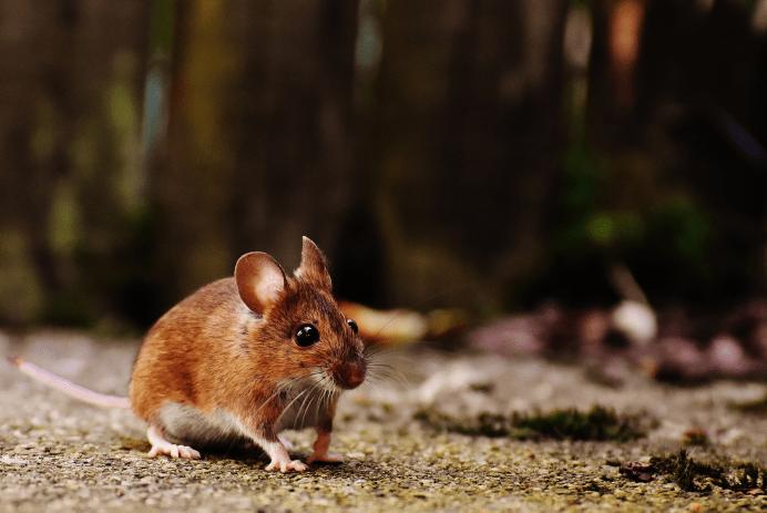 Les endroits favorables pour l'introduction de souris dans nos demeures